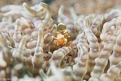 BD-151226-Dauin-0326-Periclimenes-brevicarpalis-(Schenkel.-1902)-[Peacock-tail-anemone-shrimp].jpg